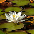 Water Lily by Sergey Lukashin