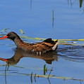 Water Rail With Fish by Jeff Townsend
