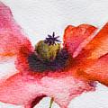 Watercolor Poppy Flower by Regina Jershova