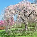 Weeping Cherry Tree by Regina Geoghan