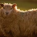Welsh Lamb In Sunny Sauce by Angel Ciesniarska