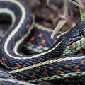 Western Garter Snake by Robert Potts