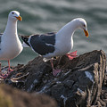Western Gulls On A Cliff by Robert Potts