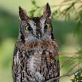 Western Screech Owl by Pierre Leclerc Photography