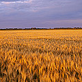 Wheat Crop In A Field, North Dakota, Usa by Panoramic Images