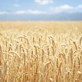 Wheat Field by Neil Overy