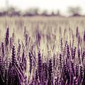 Wheat Filed In Purple by Wolfgang Stocker