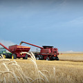 Wheat Harvest 2016 by Amy Steeples