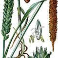 Wheat, Triticum Vulgare by Bildagentur-online