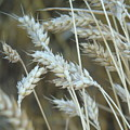 Wheats  by Yohana Negusse