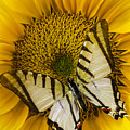 White Butterfly On Sunflower by Garry Gay