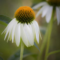 White Coneflower by Teresa Mucha
