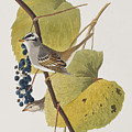 White-crowned Sparrow by John James Audubon
