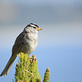 White-crowned Sparrow by Marv Vandehey