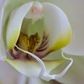 White Doritaenopsis by Jeff Folger