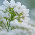 White Flower Close-up by Michelle Himes