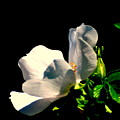 White Flower by Robert Scauzillo