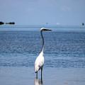 White Heron In The Keys by Alex Antoine