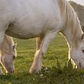 White Horses by Angel Ciesniarska