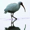 White Ibis by Jerry Weinstein