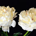 Peonies In Cream by Jeannie Rhode