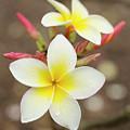 White Plumeria by Charmian Vistaunet