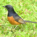 White-rumped Shama by Mary Deal