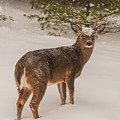 White Tailed Deer Buck In Snow by Brenda Jacobs