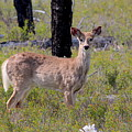 White-tailed Deer by Nicholas Miller