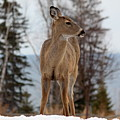 White-tailed Deer Three by Nicholas Miller