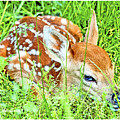 White-tailed. Virginia Deer Fawn by A Gurmankin