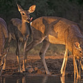 Whitetail Deer At Waterhole Texas by Dave Welling