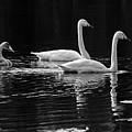 Whooper Swan Family by Jouko Lehto