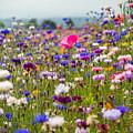 Wild Flowers by Kristopher Schoenleber