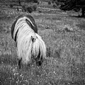 Wild Horse At Grayson Highlands - Bw by Joye Ardyn Durham