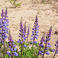 Wild Lupine Flowers by Michael Shake