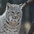 Wild Lynx Cat by DejaVu Designs