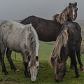 Wild Ponies On The Preseli Mountains Pembrokeshire by Andrew Chittock