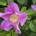 Wild Rose by Alana Ranney