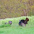 Wild Turkey by David Arment