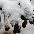 Winter Berries by Jayne Gohr