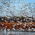 Wintering Snow Geese by Ronald Lutz