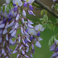 Wisteria by Michael Munster