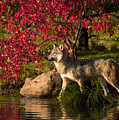 Wolf Portrait In Fall by Michelle Lalancette