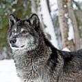 Wolf Portrait by Scott Read