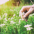 Woman Picking Up Flowers On A Meadow, Hand Close-up. Vintage Light by Michal Bednarek