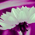 White Chrysanthemum by Bruce Nutting