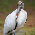 Wood Stork by Dart and Suze Humeston