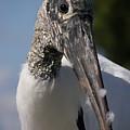 Wood Stork by Kimberly Mohlenhoff