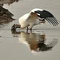 Wood Stork Winging It by Al Powell Photography USA
